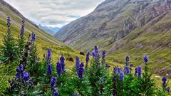 Rofental - Tirol - Austria (Felina Photography, back in NL) Tags: monnikskap aconite aconitum monkshood