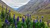 Rofental - Tirol - Austria (Felina Photography) Tags: monnikskap aconite aconitum monkshood