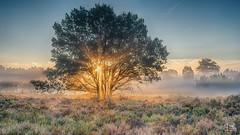 The burning bush (dejongbram) Tags: nationalpark sallandseheuvelrug heather sunrise tree sun sunbeam nikon 3leggedthing fog groundfog nederland overijssel morning