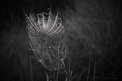 Morning web_bw_c (gnarlydog) Tags: adaptedlens kodakanastigmat63mmf27 detail nature dew waterdroplets bokeh cinelens abstract spiderweb blackandwhite monochrome morningdew