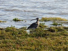 Curlew (djm4_photos) Tags: birds curlew fauna