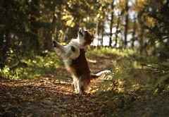 Autumn Bliss (FlorDeOro) Tags: nikond90 nikkor 55300mm photography nature animal dog color bokeh glow joy leaves forest autumn dance sweden mijarajc