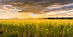 fields of yellow gold (andrew.walker28) Tags: landscape field barley crop harvest farm farmland felton queensland australia