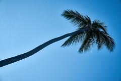 Palm Tree in Punta Cana (Claudio Beck) Tags: puntacana palmtree diagonal nature beach bluesky
