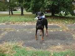 1476978168_2016_Oct_20_11-42-48_waterbottle129 (yclept8) Tags: doberman julie
