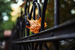 falling (ewitsoe) Tags: fence friday hff fenced iron wrought leaf stuck fall autumn nikon city cityscape ewitsoe street landscape perspective bokeh leaves home poznan poland europe