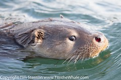 European Otter (Lutra lutra) 05 May-16-3216 (tim stenton www.TimtheWhale.com) Tags: commonotter copyright copyrighttimstenton eurasianotter europeanotter islands landmammal lutralutra lutrinae mainland mammal mustelid notcaptive otter scotland shetland shetlandisles timstenton wild wwwtimthewhalecom
