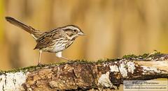 Song sparrow (eric marceau) Tags: animal bird sparrow song wild wildlife quebec canada bokeh autumn
