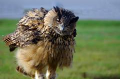 Huhuuu.... (Knarfs1) Tags: eule owl feather feder federn volgel bird