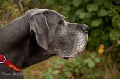 42 - 52 - Profile (aenee) Tags: aenee xziva 52weeksfordogs2016 week42 bluegreatdane blauweduitsedog doguealemagne dogoalman profile redcollar dsc2641 20161015