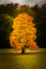 Autumn Fall Season Changing Leaves Contrast Single Oak Tree Alone Forest Independent Orange Yellow Red Leaves Plant Field Landscape Path Wood Bright (HunterBliss) Tags: alone beautiful bright changing closeup contrast dead detail different field focus forest format glowing grass green hill illuminated independence landscape leaves oak orange outdoors outside overcast park path red season seasonal seasons single special strength tree unique vertical weather woods yellow