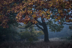 Nightfall I (sedregh (on/off)) Tags: nebel fog mist eifel eiche oak landschaft landscape baum tree herbst autumn fall