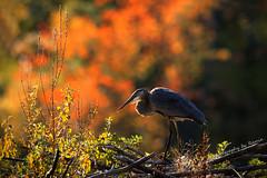 Beauty of Fall !!! (Photography by Ramin) Tags: juvenile blue heron blueheronlunchwildlifeottawa mud lake ottawa wildbirds wildlife beauty beautyoffeather ontario trees colours autumn canadian fall bird ngc