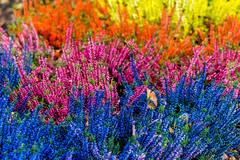 autumn colours (ToDoe) Tags: autumn colors colours herbst blu pink yellow orange erika heather