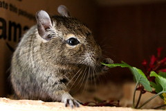 Luna (intensiti) Tags: cute leaves breakfast leaf eating luna degu degus currant octodon