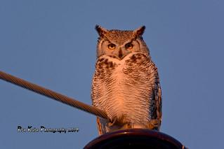 Great Horned Owl DSC_5029