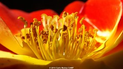 Androceos y gineceos #1 (camunozf) Tags: roses flower fleur rose flor rosa pistil stigma stylo gineceo pistilo estambre androecium gynoecium androceo androcée gynécée