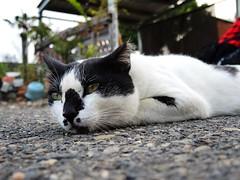 cat (野貓王) Tags: cat 貓