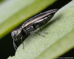 Agrilus Jewel Beetle (jialiar) Tags: macro beetle 1855mm reverselens coleoptera buprestidae jewelbeetle agrilus metallicwoodboringbeetle