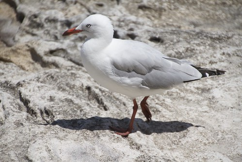 seagull waiting for left-over