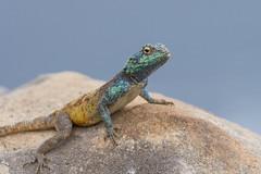 settled_in-058 (s4rgon) Tags: animals southafrica tiere capetown lizard südafrika lionshead kapstadt eidechse