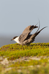 _D7B2306 (pronature images) Tags: bird paul skua varanger norway2013 day44 varangerhalvoyanationalpark