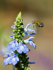 Blue banded bee (aussiegall) Tags: summer bug garden insect wings bee salvia hover bluebandedbee
