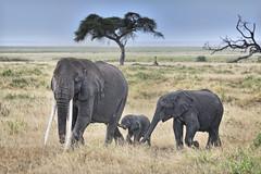 Elephants in Amboseli National Park, Kenya (diana_robinson) Tags: africa kenya rainstorm elephants grasslands amboseli babyelephant eastafrica acaciatree largetusks elephantsinrain elephantsinline