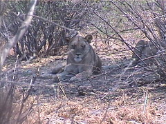 A Female Lion In the Thickets at Kaudom