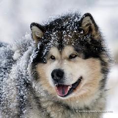 Alaskan Malamute (My Planet Experience) Tags: winter dog snow animal alaska race running racing malamute greenland musher mushing sled sleigh eskimo pulk sledge alaskan snowdog pulka groenland esquimau skijoering wwwmyplanetexperiencecom myplanetexperience