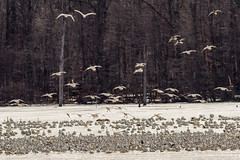 Geese on the ice at Middle Creek WMA (tresed47) Tags: birds us geese pennsylvania content places folder takenby middlecreek 2015 snowgoose peterscamera petersphotos canon7d 20153mar 20150318middlecreekbirds