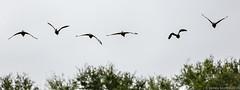 20150124 5DIII Wakodahatchee 21 (James Scott S) Tags: birds canon scott james wildlife birding ducks s row wetlands everglades 70200 ef wakodahatchee 5diii