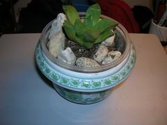 Cactus-Tillandsia-3 (cuirung) Tags: jade gollum haworthia airplant crassula felina faucaria perforata tigerjaw cactustillandsia bulbbolsa