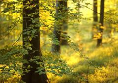 Wooden Dreams (Alan MacKenzie) Tags: autumn trees sunset blur leaves forest woodland unitedkingdom bokeh dream beech