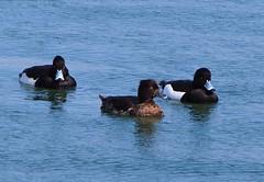 P2230079 (eriko_jpn) Tags: bird duck waterbird aythyafuligula tuftedduck