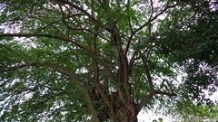 an old tree (oneroadlucky) Tags: tree nature    plnat