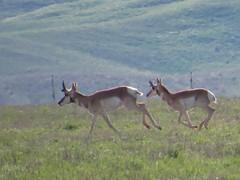 pronghorn running-carrizo plain national monument (gskipperii) Tags: animal mammal jump jumping flat fast running antelope plains speedy leap leaping grasslands pronghorn carrizoplain carrizo
