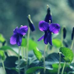 Wilde Veilchen (!Claro) Tags: flowers blue blumen violets blau veilchen