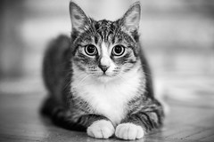 Docent (iShootCandid) Tags: blackandwhite bw pet look cat fur eyes kitten tabby 85mm fluffy purr meow purrfect docent canon6d ishootcandid jakubostrowski
