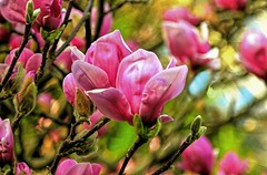 A rush of Spring (Cole Chase Photography) Tags: pink flower oregon canon spring pacificnorthwest magnolia magnoliatree t3i tuliptree