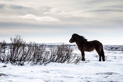 Lonely horse (L ale) Tags: travel winter horse snow nature composition photography iceland wildlife icelandic countriside