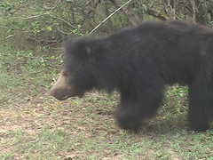 Young Sloth Bear Walking on Own