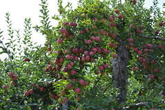 So Many Apples (thomas.hartmann496) Tags: new york red tree green apple photo crazy many orchard warwick och ochs