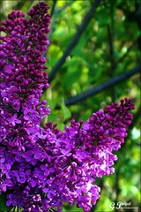 PETALES ET COULEURS (Gilles Poyet photographies) Tags: fleurs soe auvergne lilas puydedme clermontferrand autofocus aplusphoto artofimages parcdemontjuzet rememberthatmomentlevel1