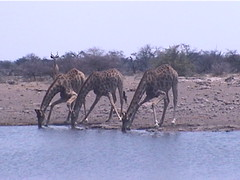 Three Giraffe Drinking