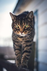 marbled eye (Jen MacNeill) Tags: pet green barn cat 50mm eyes feline dof tabby stable striped shallowdof littledoglaughedstories