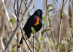 Red-wing (Eric Shwonek) Tags: nature birds wildlife blackbird redwing shwonek