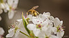 Photo of Bees and Bradford Pear 6