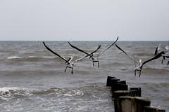 pelícanos (betho itinerante) Tags: color atardecer libertad mar playa viento cielo alas nubes contraste parvada olas volando volar altocontraste