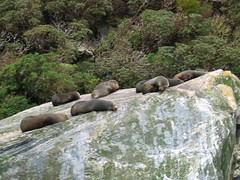 Sea Lions on the Milford Coast